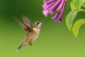 Colibri Colibri