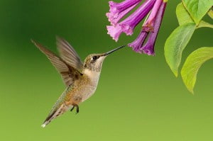 Kolibri Kolibri